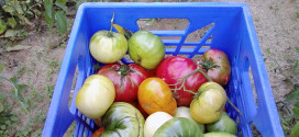 Heirloom tomatoes harvested for Hoosier Hills Food Bank. Courtesy Jennifer Joy Jameson (Flickr)