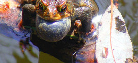 American_Toad_singing