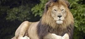 EFRC_Lion[1]